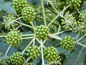 Früchte einer spanischen Zierpflanze
